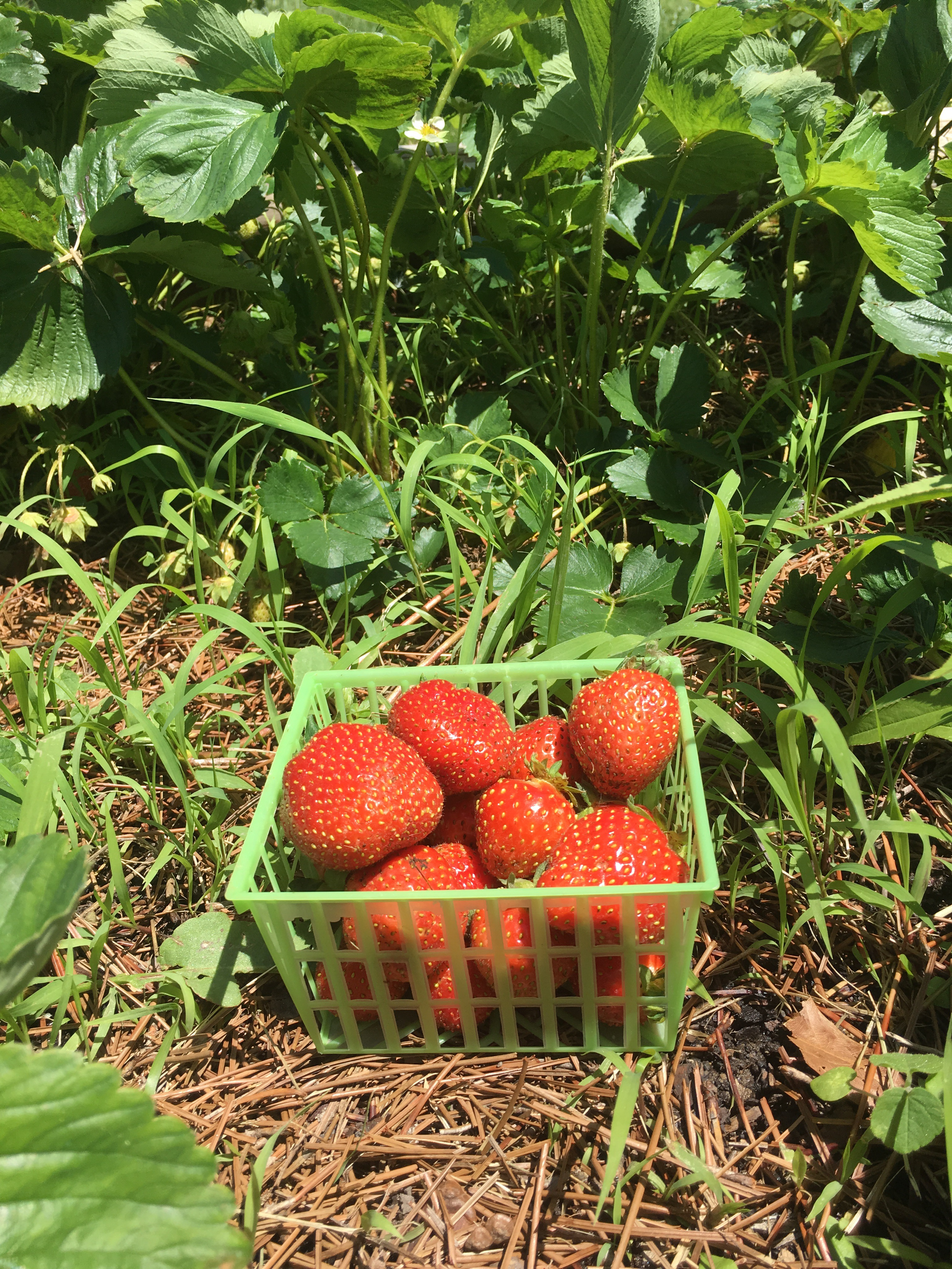 How To Grow Big And Healthy Strawberries And Strawberry Plants ...